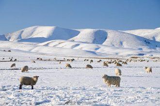 Sheep graze in snow covered paddocks near Wedderburn with the Hawkduns seen behind them. Winter, Central Otago, South Island.