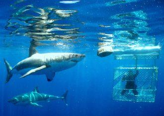 Sharks swim around a man in a shark tank.