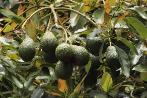 a tree with a bunch of avocados growing
