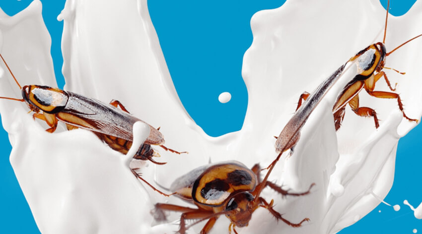 three cockroaches ride a wave of milk