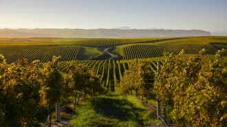 A Marlborough vineyard in sunset