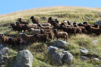 PITT ISLAND SHEEP run wild