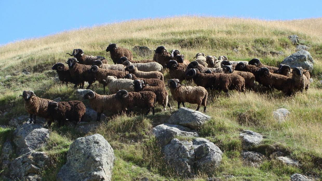 PITT ISLAND SHEEP run wild