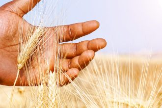 a young hand gently holds an ear of wheat against a sunny sky