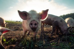 CHINA'S PIG POPULATION CONTINUES TO DECREASE