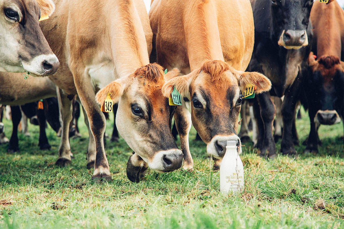 jersey milk cows and lewis road creamery bottle
