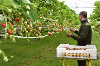 Man picking strawberries in farm