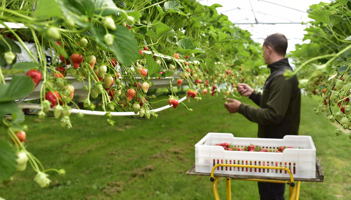 Man picking strawberries in farm