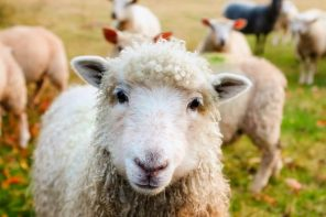 Wool industry under fire from PETA after a shocking expose